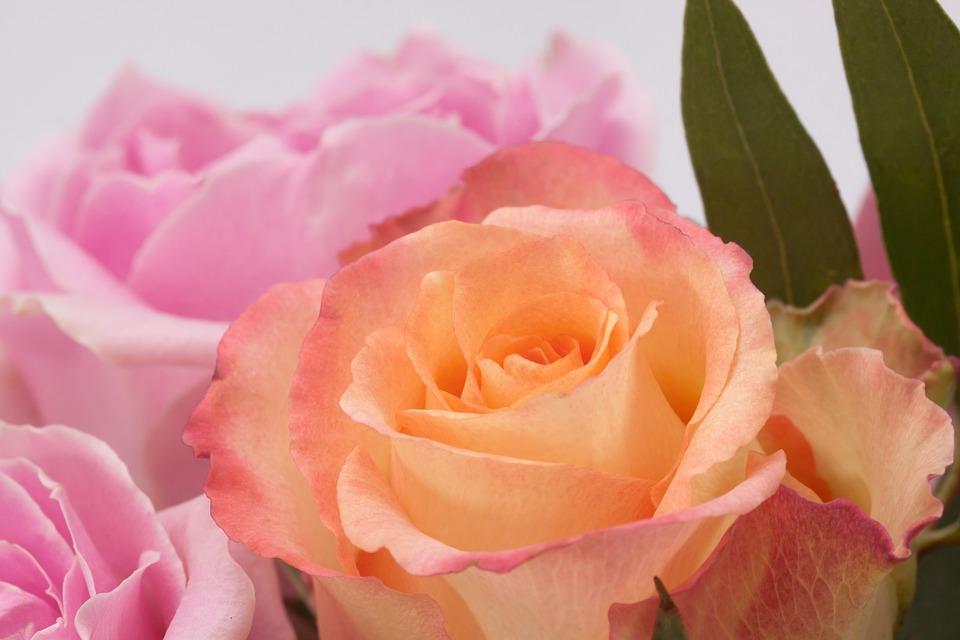 rose-795255_960_720