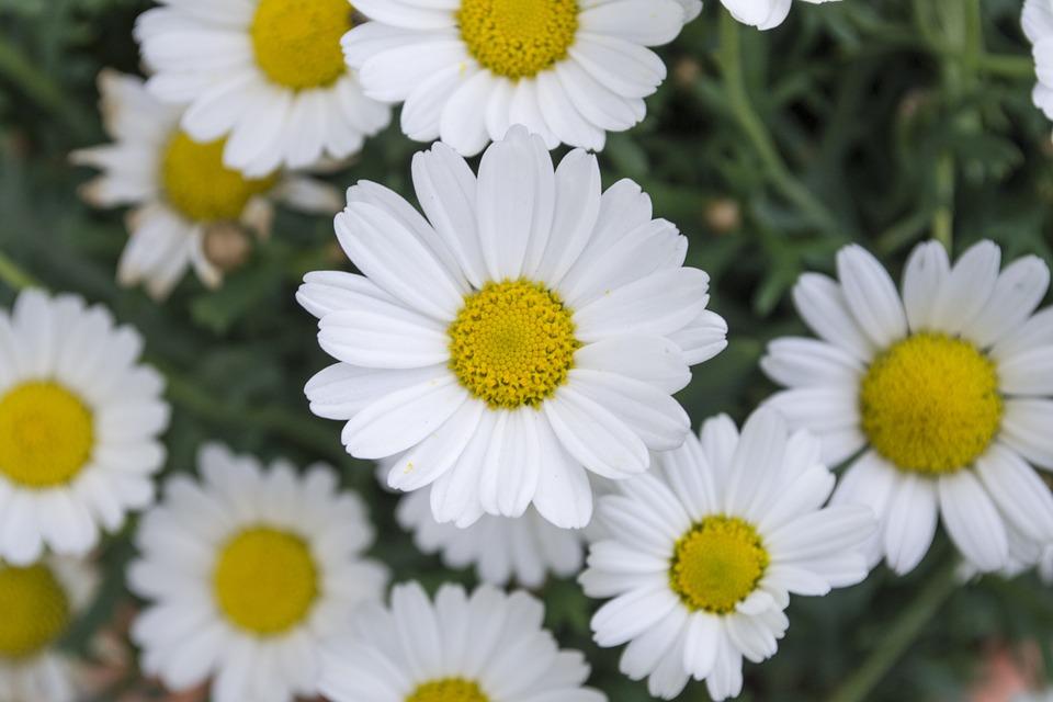daisy-462527_960_720[1]