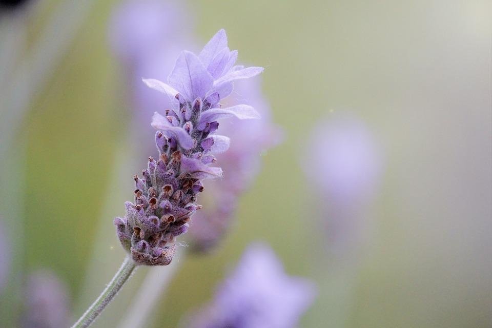 lavender-1359791_960_720