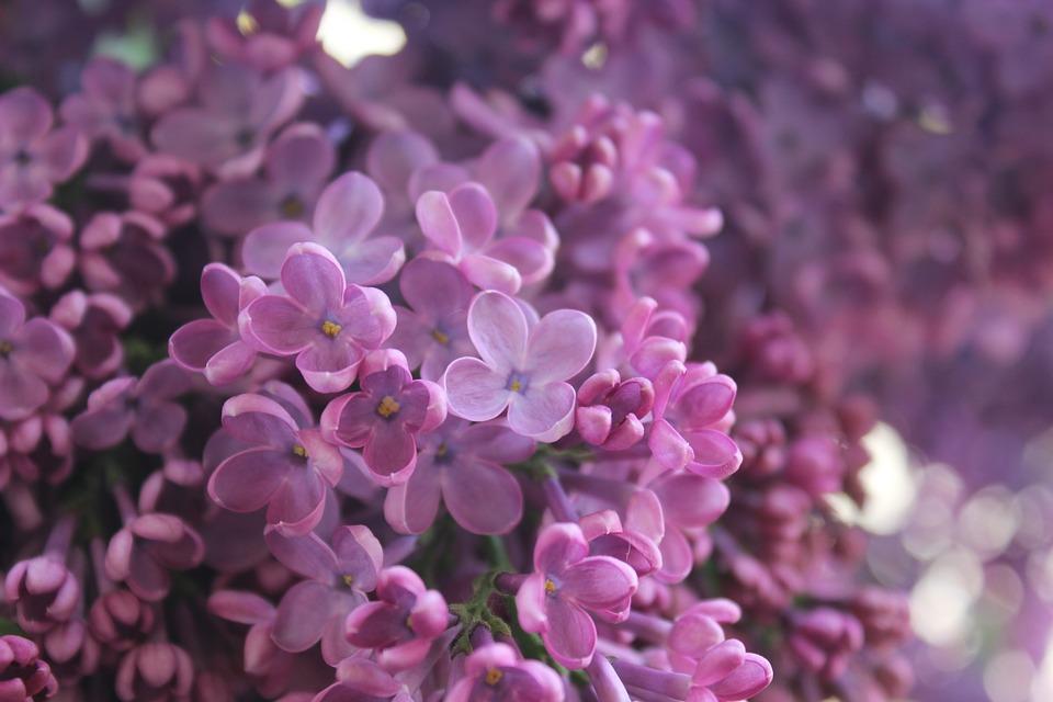 lilac-1343694_960_720